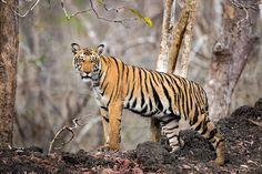 Tiger Tank Cub - This young tiger paused to pose and gave us the look as she walked out of the water hole onto a mud embankment. Taken at the Tiger Tank in Kabini Forest Reserve.