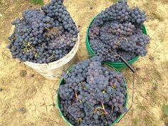 Ottimi chicchi d'uva romagnola per un #gelato #sangiovese superiore!