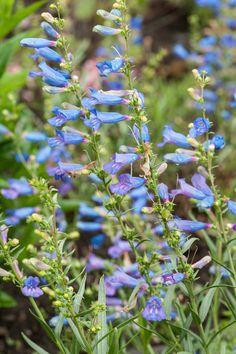 "Penstemon heterophyllus 'Electric Blue', perennial, height: Medium 18"" (Plant 14"" apart) Bloom Time: Early Summer to Late Summer  Full Sun to Half Sun/ Half Shade, zones: 6-9  Normal soil."