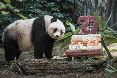 With a bamboo and vegetable ice cake, of course. (Photo: Philippe Lopez/AFP—Getty Images)