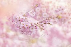 Prunus Pink Ballerina - null