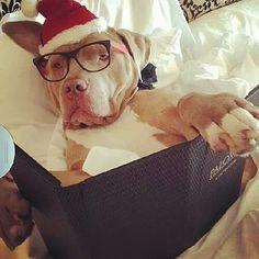My Christmas Vacation are already started #pitbulls #pitbullsofinstagram #pit #pitbull #stark #pitbulllove #pitbullmommy #pitbullpuppies #pitbullpuppy #pitbulllife #pitbulladvocate