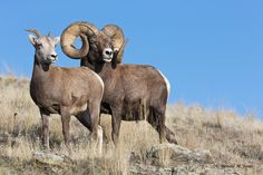 bighorn sheep | Wild Sheep