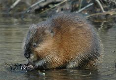 Muskrat   ... muskrat muskrat snares muskrat traps book and dvd s muskrat lure bait