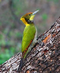 Greater Yellownape Woodpecker (male)