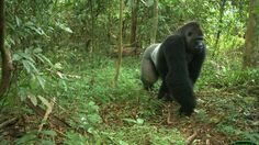 WE MUST STOP 6 LANE HIGHWAY THROUGH NIGERIA RAINFOREST : Endangered Gorillas have no need for a super speed highway. Conservationists say the construction would displace at least 180 indigenous communities and slice through a national park and adjoining forest reserves that provide habitats for some of the country's most beleaguered species, including the endangered Cross River gorilla, chimpanzees, forest elephants and pangolins.
