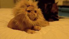 ライオンの鬣をつけた猫が大あくびをするGIF画像 created by hh