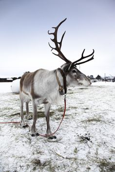Reindeer (Caribou)