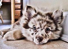 Pomeranian and Austrailian Shepard