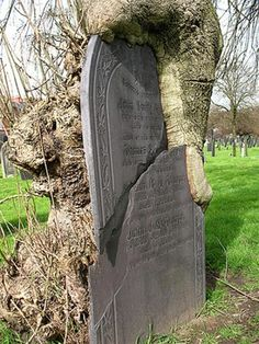 Tombstone broken under the weight of a tree in Nottingham's General Cemetery.