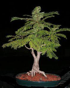 Bonsai Rosario: JACARANDÁ, un bonsái posible.