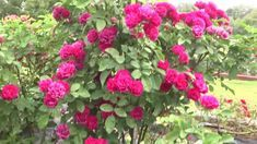 Most Beautiful Rose Garden In India At Sanjeevaiah Park Hyderabad-Hybiz.tv ► Watch More Business Videos at Indias Leading online business channel Hybiz TV ► . Rose Garden Design, Garden Design Plans, Beautiful Roses, Most Beautiful, Simple Rose, Garden Photos, Hyderabad, Flowers, Plants