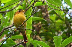 Caneleirinho-do-chapéu-preto se alimenta de frutos e insetos (Foto: Douglas Santos/ Arquivo pessoal)