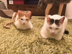 しょぼしょぼの猫とお知らせ | うちの猫がまた変なことしてる。【猫まんが】