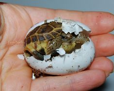 Image result for russian tortoise