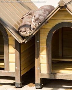 Otters Can Make Sleeping on Slanted Roofs Look Comfortable