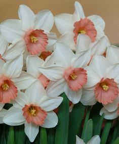 Narcissus Iwona - Cyclamineus Narcissi - Narcissi - Flower Bulb Index Flower Show, My Flower, Flower Power, Garden Plants, House Plants, December Birth Flower, Birth Flower Tattoos, Narcissus Flower, Flower Farmer