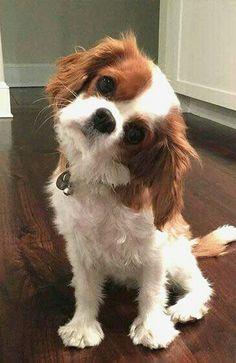 Cavalier puppy                                                       …