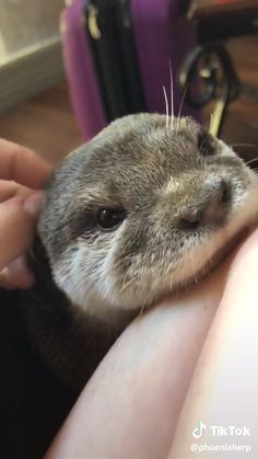 Adorable Otter Petting - P. That's Me 🤗 - Adorable Otter Petting - Cute Little Animals, Cute Funny Animals, Cute Cats, Adorable Baby Animals, Funny Monkeys, Cute Animal Videos, Cute Animal Pictures, Otters Cute, Baby Otters