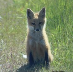 Amazing Fox Photos from San Juan Island