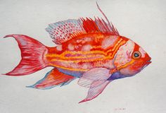 Fish  Art- Yellow Lined Anthias Watercolor