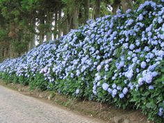 Hydrangeas on Terceira Island, Azores, Portugal