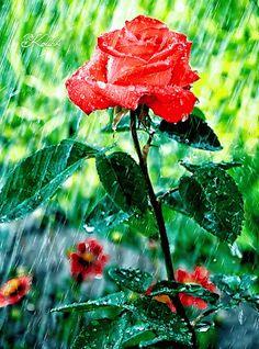 rain in the rose garden Beautiful Gif, Beautiful Roses, Gifs, Amazing Flowers, Love Flowers, Rainy Season, Gif Animé, Flower Quotes, Fantasy Girl