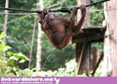 A month in Borneo photographing wildlife and this is the only picture my friends… – Merced River Camping – bushcraft camping Funny Animal Pictures, Great Pictures, Funny Images, Funny Photos, Funny Animals, Awkward Animals, Baby Orangutan, Bug Out Vehicle, Bushcraft Camping