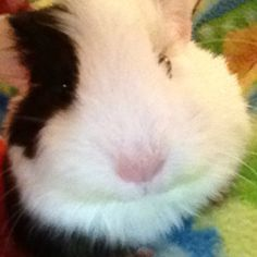 looks like my old guina pig!!! :)