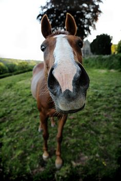 Curios horse, coming roght up, whoa hold your horses, not that fast Funny Horses, Cute Horses, Pretty Horses, Horse Love, Horse Girl, Beautiful Horses, Horse Photos, Horse Pictures, Cute Baby Animals