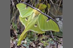 Luna: big, beautiful moth | The Columbus Dispatch  http://www.dispatch.com/content/stories/home_and_garden/2012/05/20/luna-big-beautiful-moth.html