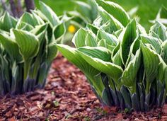 Dividing Hosta Plants – When Should Hostas Be Divided Dividing hosta plants is an easy way to maintain their size and shape, to propagate new plants for other areas of the garden, and to remove dead portions of the plant and to make it look nicer. Shade Tolerant Plants, Drought Tolerant Shrubs, Shade Garden Plants, Hosta Plants, Best Shade Plants, Hostas For Shade, Garden Yard Ideas, Lawn And Garden, Landscaping Plants