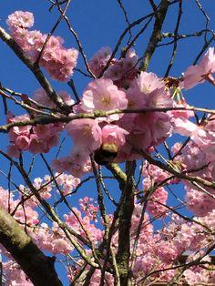 Sakura on Easter Monday 2015