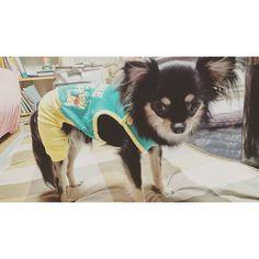2016.7.24.Sun☀  脚付きの服を初めて着せたら固まった!笑  #脚付きの服 #チワワの服 #固まるチワワ #フリーズチワワ #フリーズ  #チワワ#ちわわ#ロングコートチワワ#ロンチー#ブラタンチワワ#ブラックタン#ブラタン#ブラッククリーム#ブラックアンドクリーム#愛犬#犬は家族#犬は可愛い#犬は子供#犬は癒し#犬#わんこ