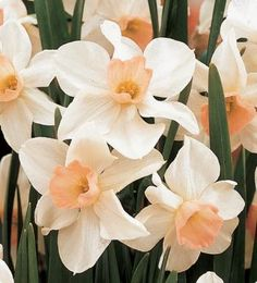 Narcissus 'Bell Song' (jonquil)