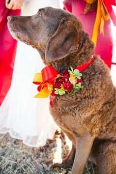 He's with the Wedding party! Chesapeake Bay Retriever