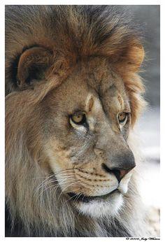 32 African Lion 8 by JWhittonNaturePhotos on Etsy, $20.00
