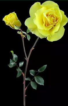 When growing roses there are many mistakes that can be made.