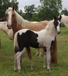 Tennessee Walking Horses - CLOUD 9 WALKERS (Tennessee Walking Horse Filly for sale)