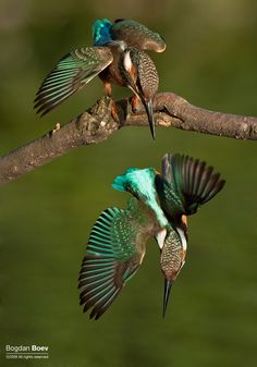 Birds in Bulgaria!Kingfisher(Alcedo atthis) Земеродно Рибарче This is two images in row ,I just cut f. All Birds, Birds Of Prey, Little Birds, Angry Birds, Love Birds, Common Kingfisher, Kingfisher Bird, Most Beautiful Birds, Pretty Birds