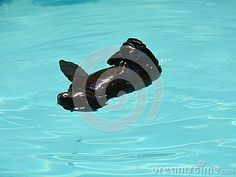 Baby Seal Playing In The Water - Download From Over 40 Million High Quality Stock Photos, Images, Vectors. Sign up for FREE today. Image: 59689666