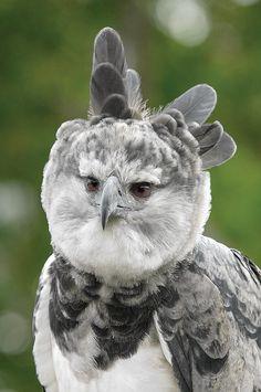 Harpy Eagle, Costa Rica, San Diego Zoo, Big Bird, Photo Wall Art, Wall Art Prints, Nature Photography, Wildlife, Birds