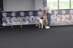 ABCK Dog Show - Collections - Google+ American Bully Kennels, Blue Blood Bulldog, Blue Bloods, Dog Show, A Team, Blue Eyes, Red And White, Pup, Dogs