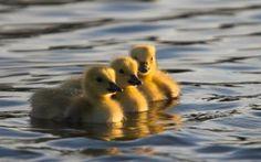 Preview wallpaper ducks, swim, water, young