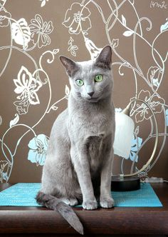 Russian Blue Cats Kittens One of the most beautiful and most spoiled Russians around! Blue Cats, Grey Cats, Korat Cat, Sphynx Cat, Russian Blue Kitten, Cat Pose, How To Cat, Cat Aesthetic, Munchkin Cat