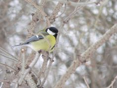 Sikora bogatka / Great Tit