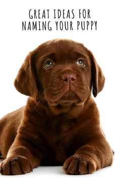 Dog Names: Great Ideas For Naming Your Puppy - The Happy Puppy Site Cute Labrador Puppies, Labrador Mix, Cute Puppies, Fun Facts About Dogs, Dog Facts, Dog Love, Puppy Love, Great Dog Names, Puppy Names