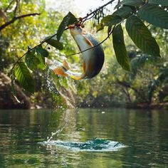 A piraputanga fish makes an athletic leap to grab low hanging fruit above the Bonito Pools in southern Brazil. The lands. Nature Animals, Animals And Pets, Wildlife Nature, Fish Jumps, Safari, Interesting Animals, Wildlife Conservation, Nature Images, Tropical Fish