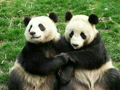 It's quite difficult to find pandas in wildlife as this animal is listed in endangered . Where to find Giant Panda in the world? Niedlicher Panda, Cute Panda, Panda Funny, Zoo Animals, Animals And Pets, Cute Animals, Wild Animals, Beautiful Creatures, Animals Beautiful