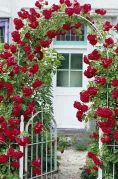 Live 'Blaze' Climbing Rose ~ This Rose is super and grows prolifically!